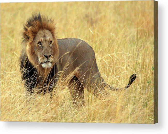 Big Cat: Lion: Male Lion: Wildlife: Nature: Masai Mara: Africa: Kenya: Acrylic Print featuring the photograph Lion King by Vic Sharratt