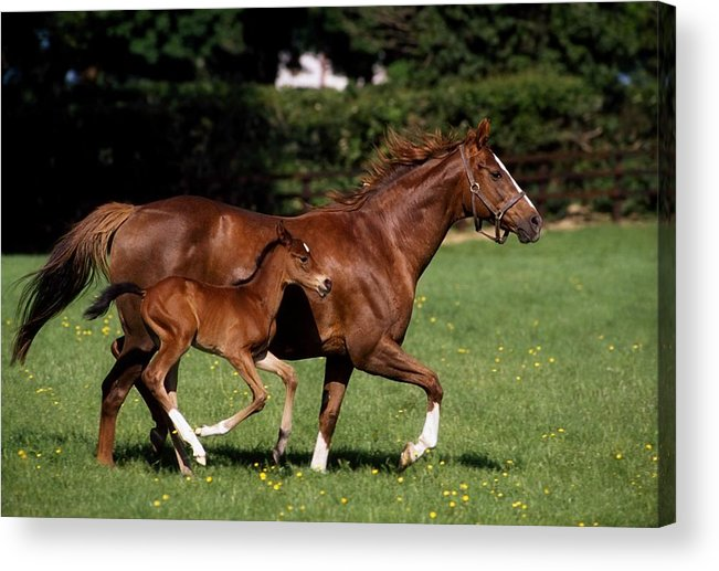Bridle Acrylic Print featuring the photograph Thoroughbred Mare And Foal Galloping by The Irish Image Collection