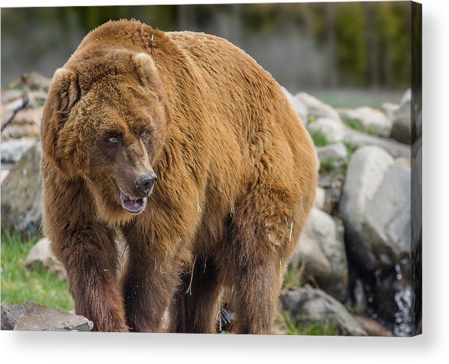 Grizzly Acrylic Print featuring the photograph Very Big Bear by Greg Nyquist