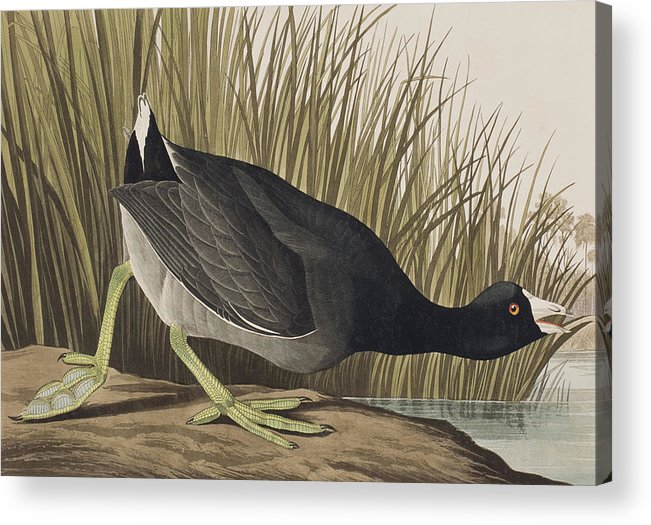 Coot Acrylic Print featuring the painting American Coot by John James Audubon