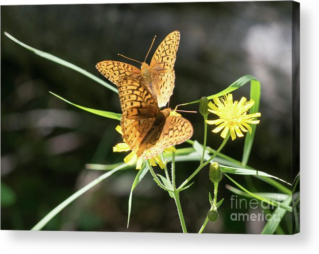Butterflies Acrylic Print featuring the photograph 2 Butter Flies by Bastiaan De Peuter
