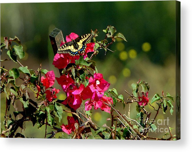 Butterfly Acrylic Print featuring the photograph Butterfly by Marc Bittan