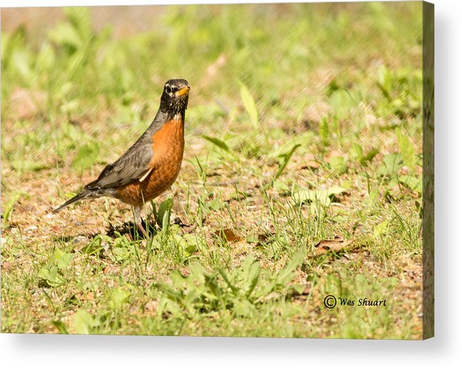 Robin Acrylic Print featuring the photograph American Robin by Wesley Shuart