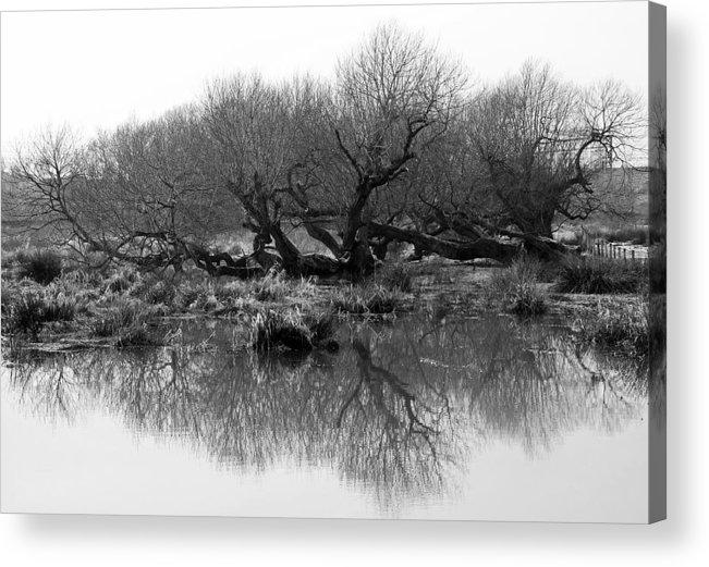 Trees Acrylic Print featuring the photograph Ancient Pollard Trees by Bob Kemp