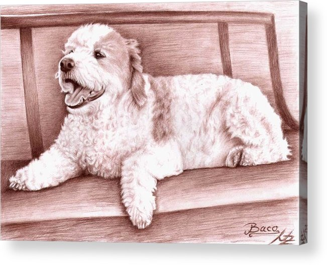 Dog Acrylic Print featuring the drawing Baco by Nicole Zeug