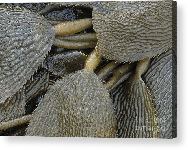 Kelp. Beach Acrylic Print featuring the photograph Beached Kelp by Tim Grams