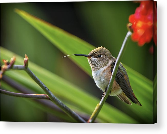 Canada Acrylic Print featuring the photograph Birds Of Bc - No. 31 - Rufous Hummingbird - Selasphorus Rufus by Paul W Sharpe Aka Wizard of Wonders