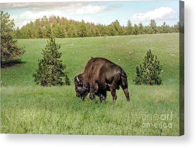 Wildlife Acrylic Print featuring the photograph Black Hills Bull Bison by Robert Frederick