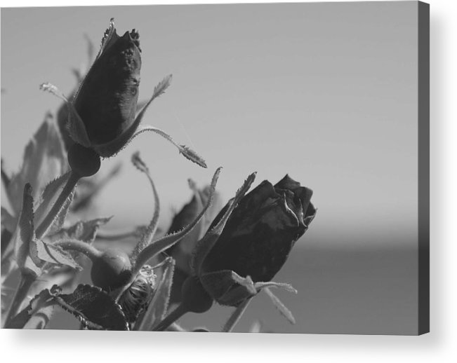 Rose Acrylic Print featuring the photograph Black Roses by Lisa Hebert
