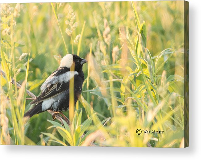 Bird Acrylic Print featuring the photograph Bobolink by Wesley Shuart