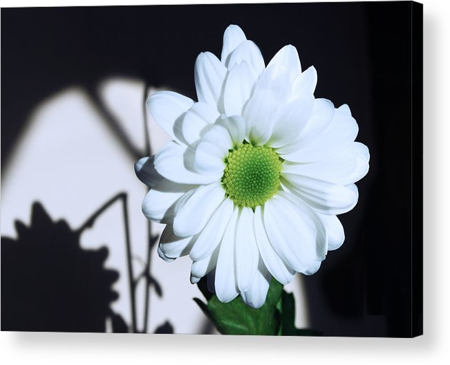 Chrysanthemum Acrylic Print featuring the photograph Broken Shadow by Terence Davis