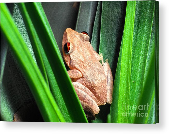 Coqui Acrylic Print featuring the photograph Coqui In Bromeliad by Thomas R Fletcher
