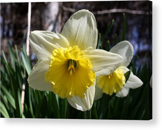 Daffodil Acrylic Print featuring the photograph Daffodil Days by Annie Babineau