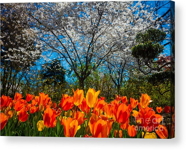 America Acrylic Print featuring the photograph Dallas Arboretum Tulips And Cherries by Inge Johnsson