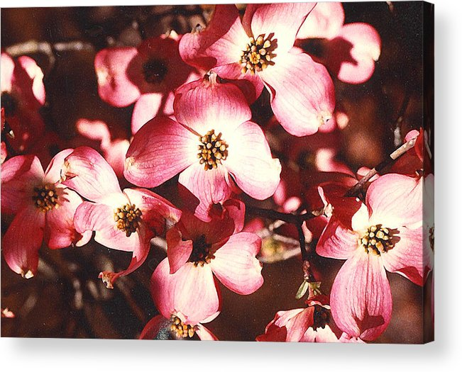 Dogwood Acrylic Print featuring the photograph Dogwood Harmony by Nancy Mueller