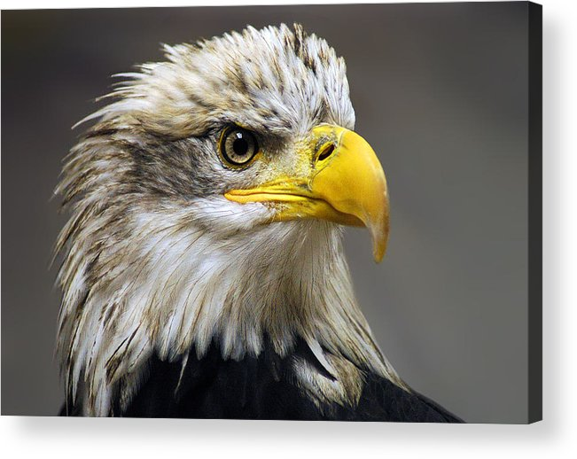 Eagle Acrylic Print featuring the photograph Eagle by Harry Spitz