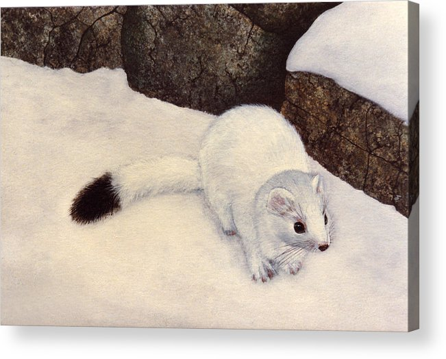 Wildlife Acrylic Print featuring the painting Ermine In Winter by Frank Wilson
