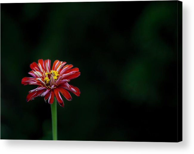 Flower Acrylic Print featuring the photograph Fireworks by Anthony Zeljeznjak