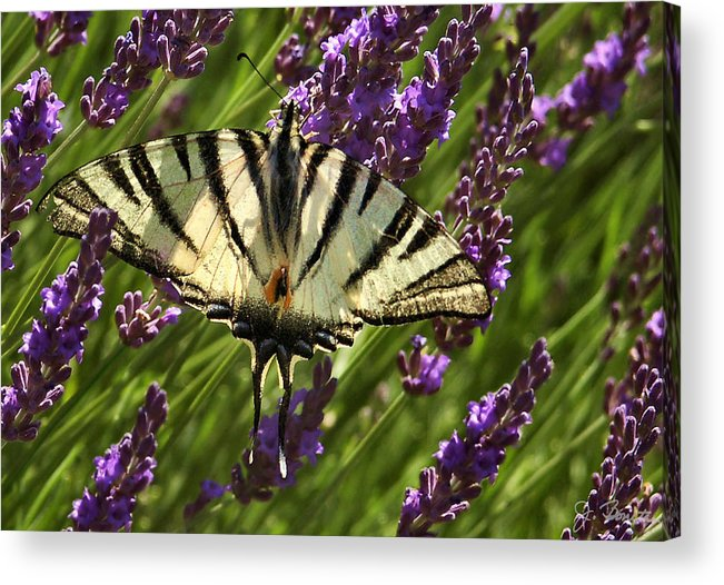 France Acrylic Print featuring the photograph In The Lavender by Joe Bonita