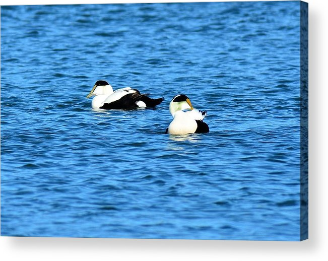 Male Acrylic Print featuring the photograph Male Common Eiders by Jo-Ann Matthews