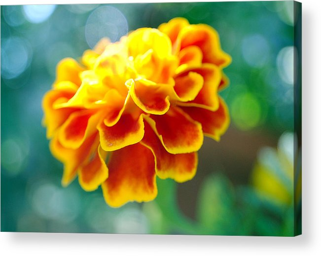 Flowers Acrylic Print featuring the photograph Marigold by Heather S Huston