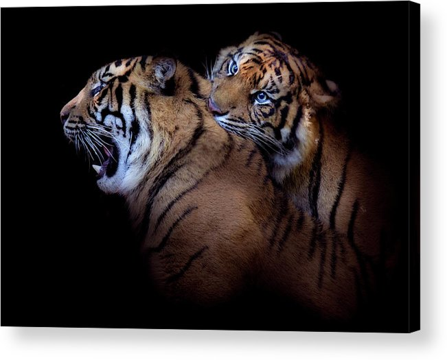 Tiger Acrylic Print featuring the photograph Mine by Animus Photography