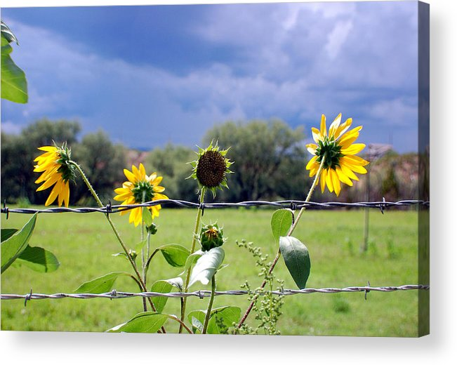 Photography Acrylic Print featuring the photograph Monsoon Sunflowers by Heather S Huston