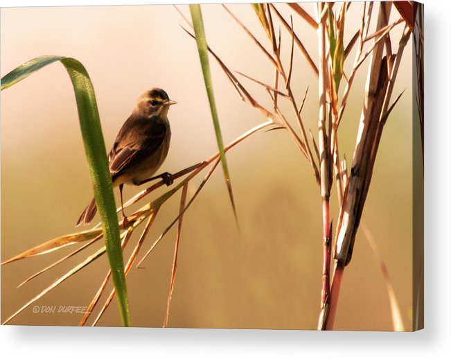 Warbler Acrylic Print featuring the photograph Morning Light Warbler by Don Durfee