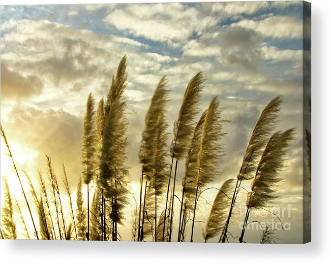 Nature Acrylic Print featuring the photograph Pampas Grass by Julia Hiebaum