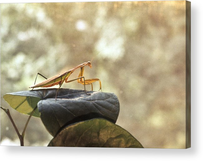 Praying Acrylic Print featuring the photograph Pensive Mantis by Douglas Barnett