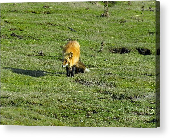 Fox Acrylic Print featuring the photograph Red Fox by Louise Magno