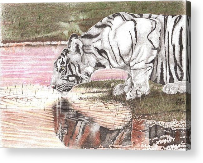 Tiger Acrylic Print featuring the drawing Reflecting by Dustin Knighton