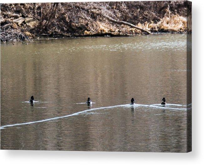 Heron Heaven Acrylic Print featuring the photograph Ring-necked Duck Formation by Edward Peterson
