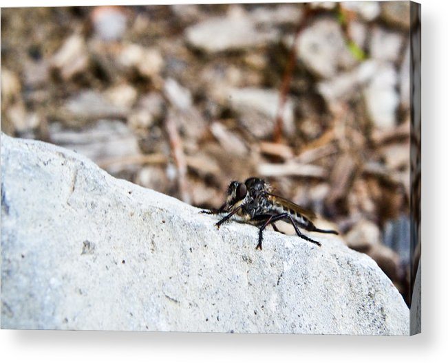 Stalking Acrylic Print featuring the photograph Robber Fly Stalking by Douglas Barnett