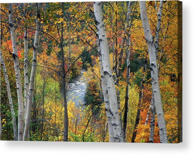 New Hampshire Acrylic Print featuring the photograph Saco River And Birches by John Burk