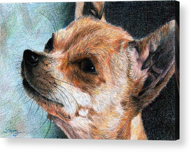 Chihuahua Acrylic Print featuring the drawing Sandy by Tina Storey