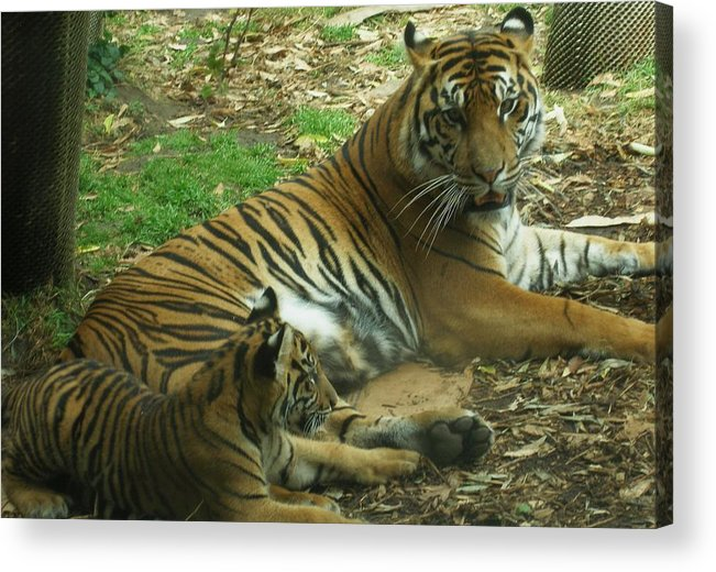 Tiger Acrylic Print featuring the photograph Sumatran Tigers by Travis Day