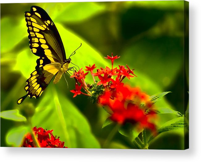 Insect Acrylic Print featuring the photograph Swallow Tail by Ches Black