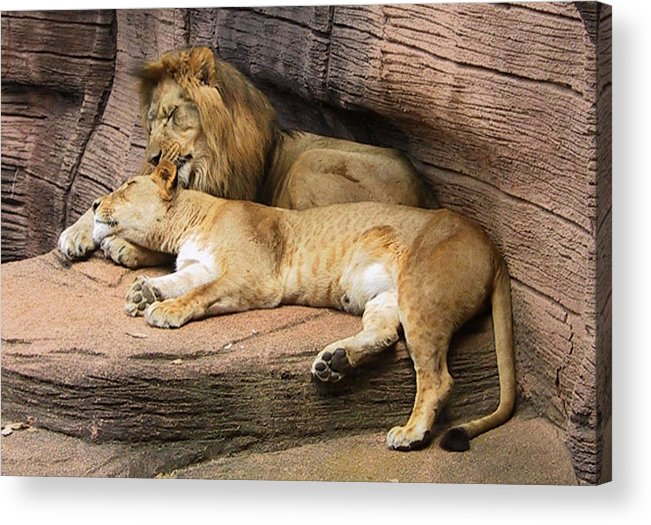 Lions Acrylic Print featuring the photograph The Lions by Michele Caporaso