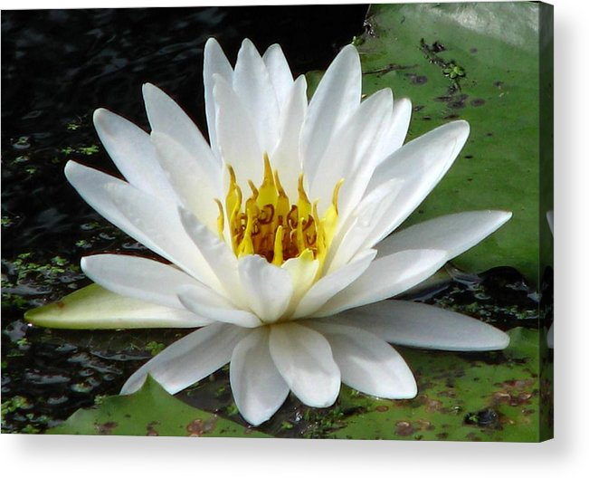 Water Lily Acrylic Print featuring the photograph Water Lily 1 by J M Farris Photography
