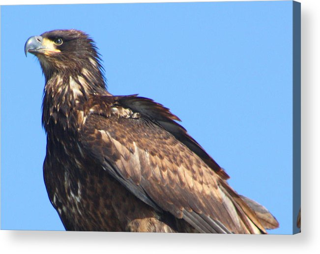 Eagle Acrylic Print featuring the photograph Young Eagle by Nick Gustafson