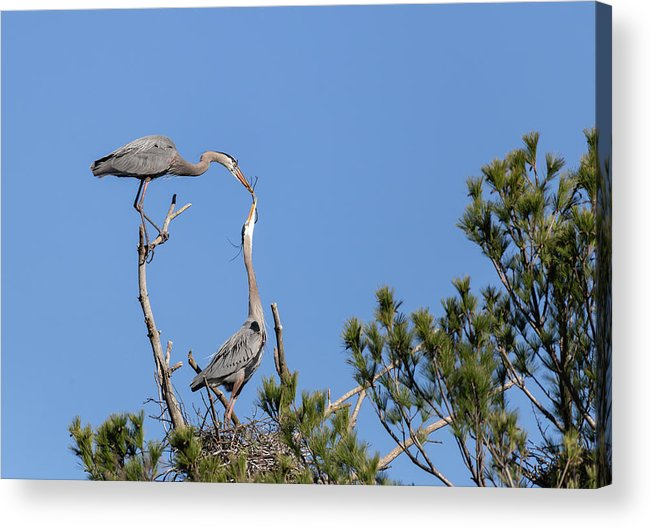 Great Blue Herons Acrylic Print featuring the photograph Building For Future Generations 2019-1 by Thomas Young