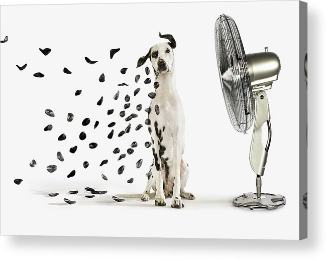 Pets Acrylic Print featuring the photograph Spots Flying Off Dalmation Dog by Gandee Vasan