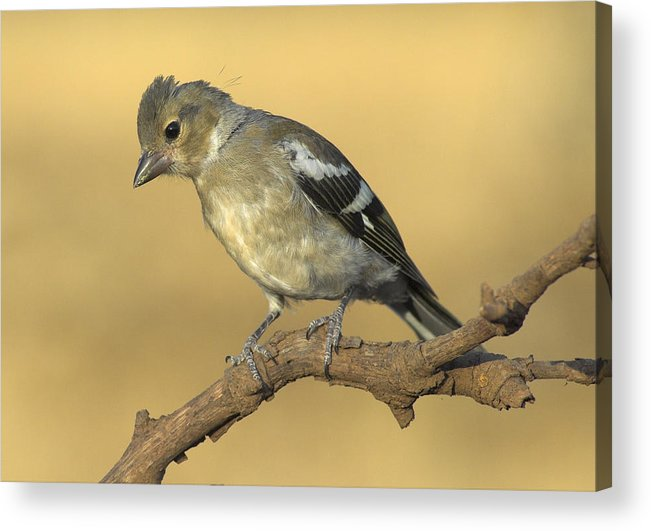 Birds Acrylic Print featuring the photograph Female Chaffinch by Guido Montanes Castillo