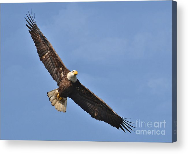 Birds Acrylic Print featuring the photograph Soaring Eagle by Kathy Baccari