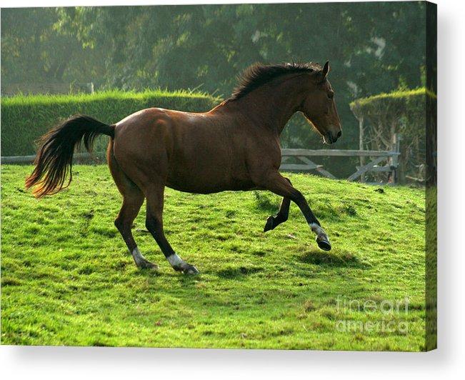 Grey Horse Acrylic Print featuring the photograph The Bay Horse by Angel Ciesniarska