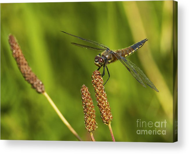 Dragonfly Acrylic Print featuring the photograph Dragonfly On Seed Pod 2 by Sharon Talson