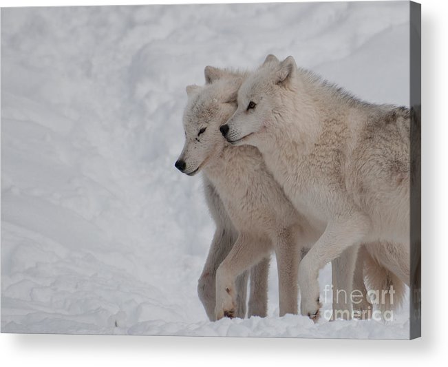 Arctic Wolf Acrylic Print featuring the photograph Joined At The Hip by Bianca Nadeau