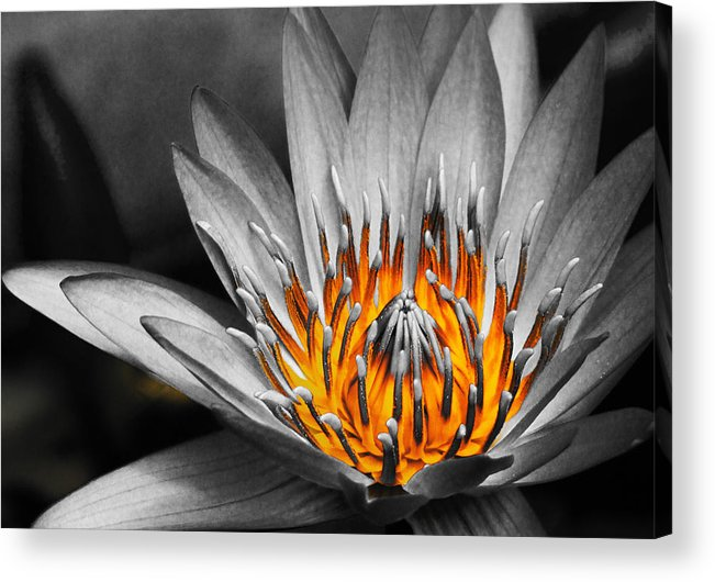 Lotus Acrylic Print featuring the photograph Lotus On Fire by Lyle Barker