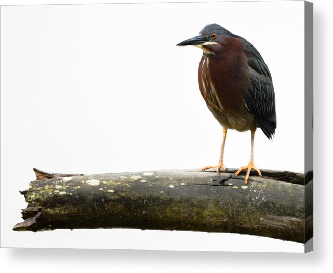 Acrylic Print featuring the photograph American Bittern by Brian Stevens